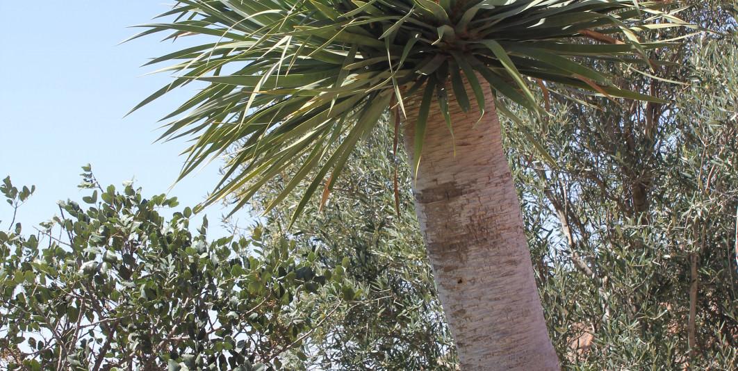 AJGAL Dracaena Draco  شجرة أجڭال .. تراث نباتي غني ومتفرد
